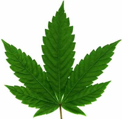 cannabis_spp_leaf